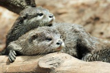 Oriental Small-clawed Otters Posters