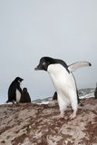 Adelie Penguin Colony Photo by Louise Murray