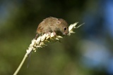 Eurasian Harvest Mouse Posters by Louise Murray