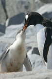 Gentoo Penguin Feeding Chick Prints by Louise Murray