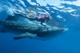 Whale Shark And Diver Posters by Louise Murray