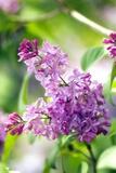 Lilac (Syringa Vulgaris) Photographic Print by Maria Mosolova