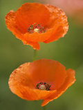 Corn Poppies (Papaver Rhoeas) Prints by Maria Mosolova