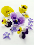 Pansy Flowers Photo by David Munns