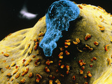 False-colour SEM of the Ovary Surface At Ovulation Photographic Print by P. Motta