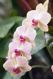 Orchid (Phalaenopsis Sp.) Photo by Maria Mosolova