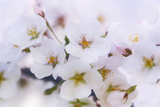 Cherry Blossom (Prunus 'Serrulata') Photo by Maria Mosolova