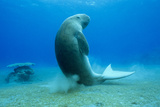 Dugong Photographic Print by Louise Murray