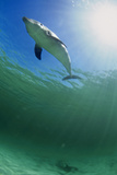 Bottlenose Dolphin Posters by Louise Murray