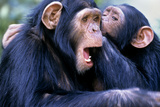 Chimpanzees Grooming Photographic Print by Louise Murray