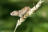 Eurasian Harvest Mouse Prints by Louise Murray