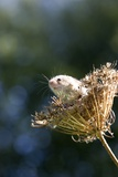 Eurasian Harvest Mouse Photographic Print by Louise Murray