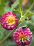 Dahlia Sp. And Bees Photographic Print by Maria Mosolova