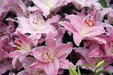 Oriental Lily (Lilium 'Justina') Photographic Print by Cordelia Molloy