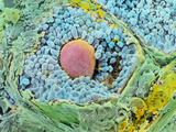 Coloured SEM of Secondary Follicles In the Ovary Photographic Print