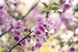Cherry Blossom (Prunus 'Serrulata') Photographic Print by Maria Mosolova
