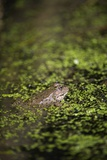 Marsh Frog Prints by Louise Murray