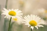 Shasta Daisy (Leucanthemum 'Filigran') Posters by Maria Mosolova