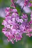 Lilac (Syringa Vulgaris) Posters by Maria Mosolova