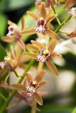 Orchid (Cymbidium) Photographic Print by Maria Mosolova