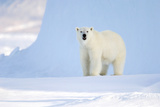 Polar Bear Photographic Print by Louise Murray