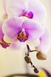 Phalaenopsis Hinamatsuri 'Blushing Bride' Photographic Print by Maria Mosolova