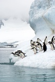 Gentoo Penguins Jumping Into the Sea Affiches par Louise Murray