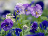 Pansies (Viola X Wittrockiana) Photographic Print by Maria Mosolova