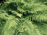 Lady Fern Fronds (Athyrium Filix-femina) Photographic Print by Michael Marten