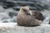 Brown Skuas Photographic Print by Louise Murray