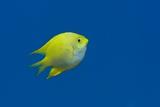 Lemon Damselfish Posters by Louise Murray