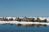 Atlantic Walrus Photographic Print by Louise Murray