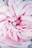 Rose Flower (Rosa Sp.) Photographic Print by Maria Mosolova
