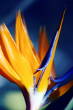Bird of Paradise (Strelitzia Reginae) Papier Photo par Maria Mosolova
