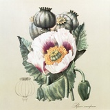 Lithograph of the Opium Poppy Premium Photographic Print by National Library of Medicine