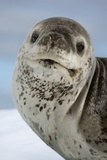 Leopard Seal Prints by Louise Murray