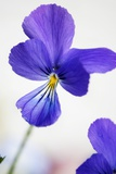 Pansy (Viola X Wittrockiana) Photographic Print by Maria Mosolova