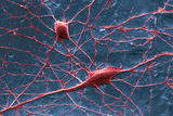 Purkinje Nerve Cells, SEM Posters by David McCarthy