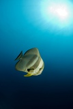 Longfin Batfish Poster by Louise Murray