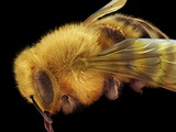 Honey Bee, SEM Print by David McCarthy