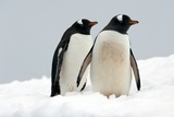 Gentoo Penguins Prints by Louise Murray