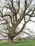 Oak Tree Photographic Print by Michael Marten