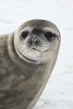 Crabeater Seal Photographic Print by Louise Murray