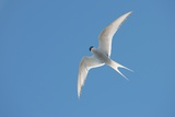 Arctic Tern Photo by Louise Murray