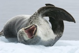 Leopard Seal Posters by Louise Murray