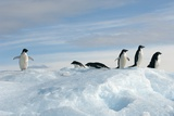 Adelie Penguins Photographic Print by Louise Murray