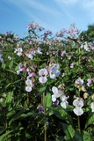 Himalayan Balsam (Impatiens Glandulifer) Posters by Cordelia Molloy