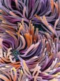 False-colour SEM of Tracheal Epithelium Photographic Print by P. Motta