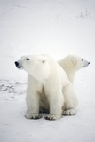 Polar Bear And Cub Photographic Print by Chris Martin-Bahr