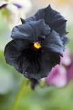Pansy (Viola X Wittrockiana 'Black Moon') Photo by Maria Mosolova